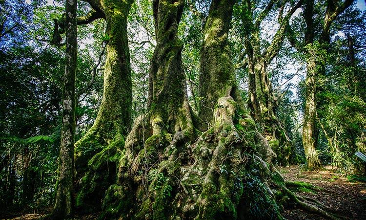 3000 year old Antarctic Beech Trees