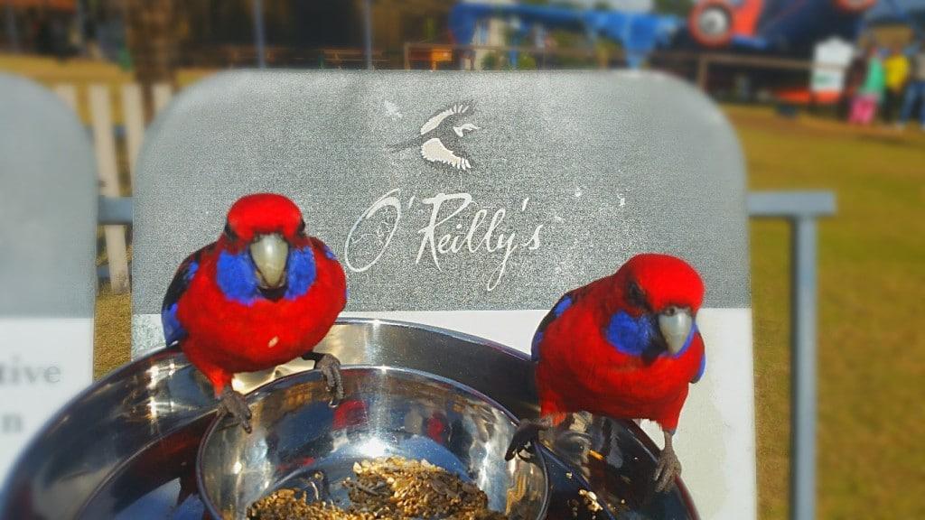 Oreillys bird feeding
